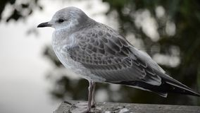 Beautiful white seagull in late summer closeup video with pond water stock footage