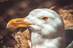Beautiful white seagull with yellow beak Royalty Free Stock Photo