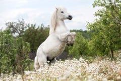 White Shetland pony rearing outdoors. Beautiful White Shetland pony rearing on a summer meadow at liberty royalty free stock photos