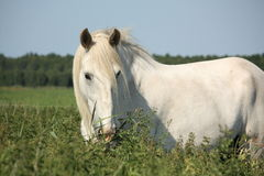 Beautiful white shire horse portrait in rural area Stock Photo