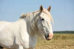 Beautiful white shire horse portrait in rural area Stock Photos
