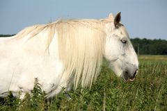 Beautiful white shire horse portrait in rural area Stock Photography