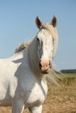 Beautiful white shire horse portrait in rural area Stock Images