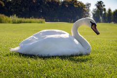 Beautiful white sitting swan in the middle of summer meadow. Bird with white feather on green grass. Elegance and peace background. Summer wildlife. Wild birds stock photos