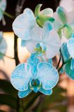 Beautiful white and sky blue color Orchid. Beautiful white and sky blue color mix on Orchid . This is really a color. In dasada gallery prachinburi. Thailand royalty free stock images