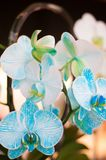 Beautiful white and sky blue color Orchid. Beautiful white and sky blue color mix on Orchid . This is really a color. In dasada gallery prachinburi. Thailand royalty free stock image