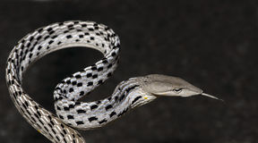 Beautiful white snake with the tongue, Oriental Whip Snake Stock Photos