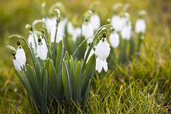 Beautiful white snowdrops Stock Photography