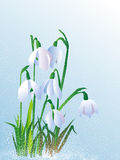 Beautiful white snowdrops Royalty Free Stock Image