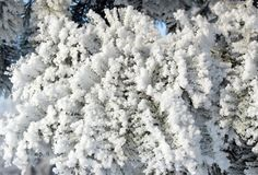 Beautiful snowy tree branches in winter, Lithuania. Beautiful white snowy fir tree branches in winter, can use as background royalty free stock images