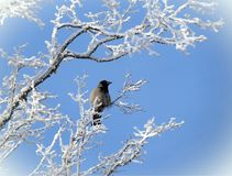 Snowy tree and crow bird in winter, Lithuania Stock Photos