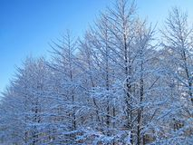 Snowy trees in winter, Lithuania Royalty Free Stock Photos