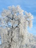 Beautiful white snowy trees, Lithuania royalty free stock photos