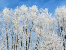 Beautiful snowy trees in winter, Lithuania Stock Images