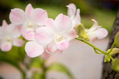 Beautiful white and soft pink or Phalaenopsis or Moth dendrobium orchid, Royalty Free Stock Images