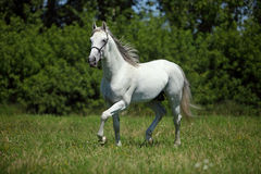 Beautiful white spanish stallion Stock Photo