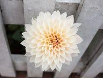 Beautiful white spiral flower bud petals garden close up. Essex; england; uk Stock Photography