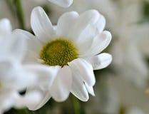 Beautiful white spray chrysanthemum flower, macro Royalty Free Stock Photography
