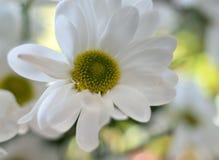 Beautiful white spray chrysanthemum flower, macro Stock Photo