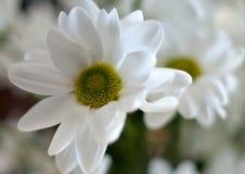 Beautiful white spray chrysanthemum flower, macro Royalty Free Stock Photos