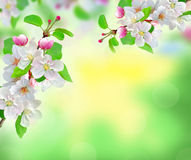 Beautiful white spring blossom on blurred nature background Stock Photo