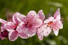 Beautiful white spring flowers covered with raindrops Stock Photos