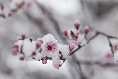 Beautiful white spring flowers covered with snow stock photography