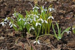 Beautiful white spring flowers snowdrops, Galanthus nivalis. Stock Photo