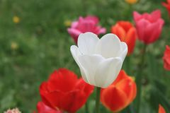 Beautiful white spring tulip on a background of bright scenic tulips and green grass royalty free stock photography
