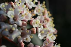 Beautiful White Spring Viburnum Flowers royalty free stock image