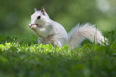 Beautiful White Squirrel with Bushy Tail Royalty Free Stock Photos