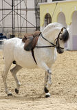 A beautiful white stallion performing Royalty Free Stock Photography