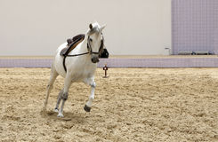 A beautiful white stallion playing Royalty Free Stock Images