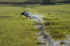 Young white stork in field in Holland royalty free stock photos