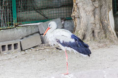 Beautiful white stork walking on the zoo Royalty Free Stock Image