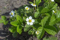 Beautiful white strawberry flowers, plant in the garden Royalty Free Stock Images