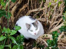 Beautiful white stray cat hiding in a bush. Beautiful white cat with green eyes hiding in a bush Stock Photos