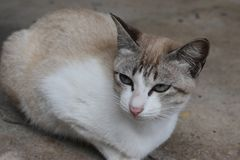 Beautiful white street cat sitting on a street in Hua Hin, Thailand, Asia. Beautiful white street cat sitting on a street in Hua Hin, Thailand in Asia Royalty Free Stock Photos