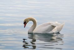 Free Beautiful White Swan Stock Image - 106995681