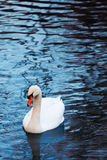 Beautiful white swan Stock Photo