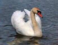 Beautiful white swan Stock Image