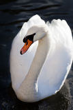 Beautiful white swan Royalty Free Stock Photography