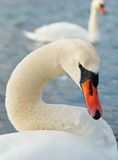 Beautiful white swan. Stock Photography