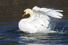 Beautiful white swan bathing and playing in the lake pond river. Beautiful white swan swim in the lake, on the dark surface of the water. Horizontal contrast Stock Photos