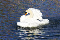 Beautiful white swan bathing and playing in the lake pond river. Beautiful white swan swim in the lake, on the dark surface of the water. Horizontal contrast Royalty Free Stock Image