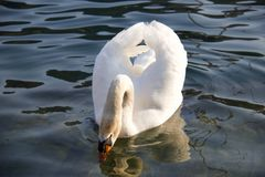 Beautiful white swan with the beak in the water floating in the royalty free stock photos
