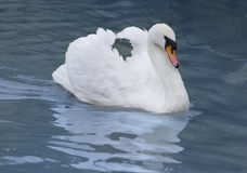 Beautiful white swan. Royalty Free Stock Image
