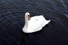 A beautiful white swan in the blue water Royalty Free Stock Photography