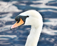 Beautiful white swan in blue water Royalty Free Stock Images
