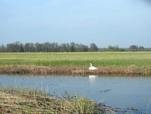 White swan near chanel in spring, Lithuania Royalty Free Stock Images
